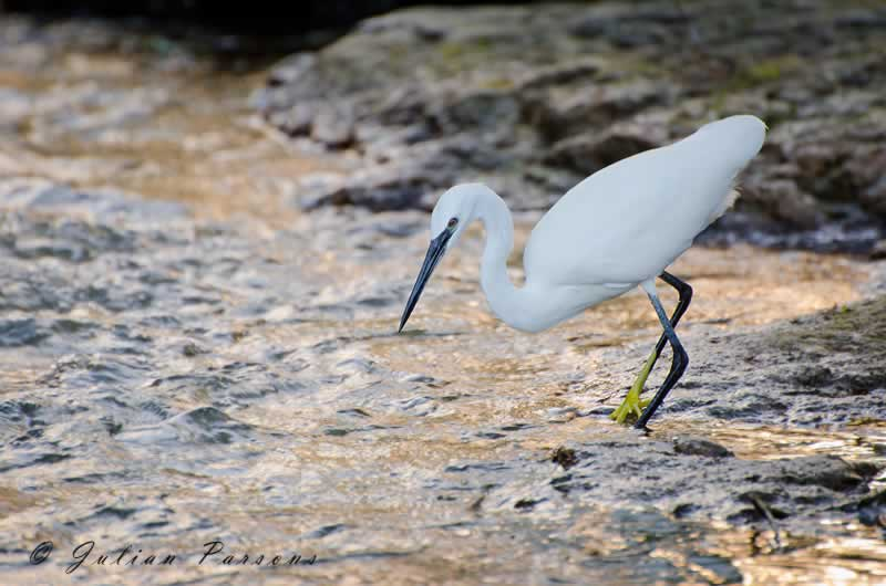 Little Egret © Julian Parsons